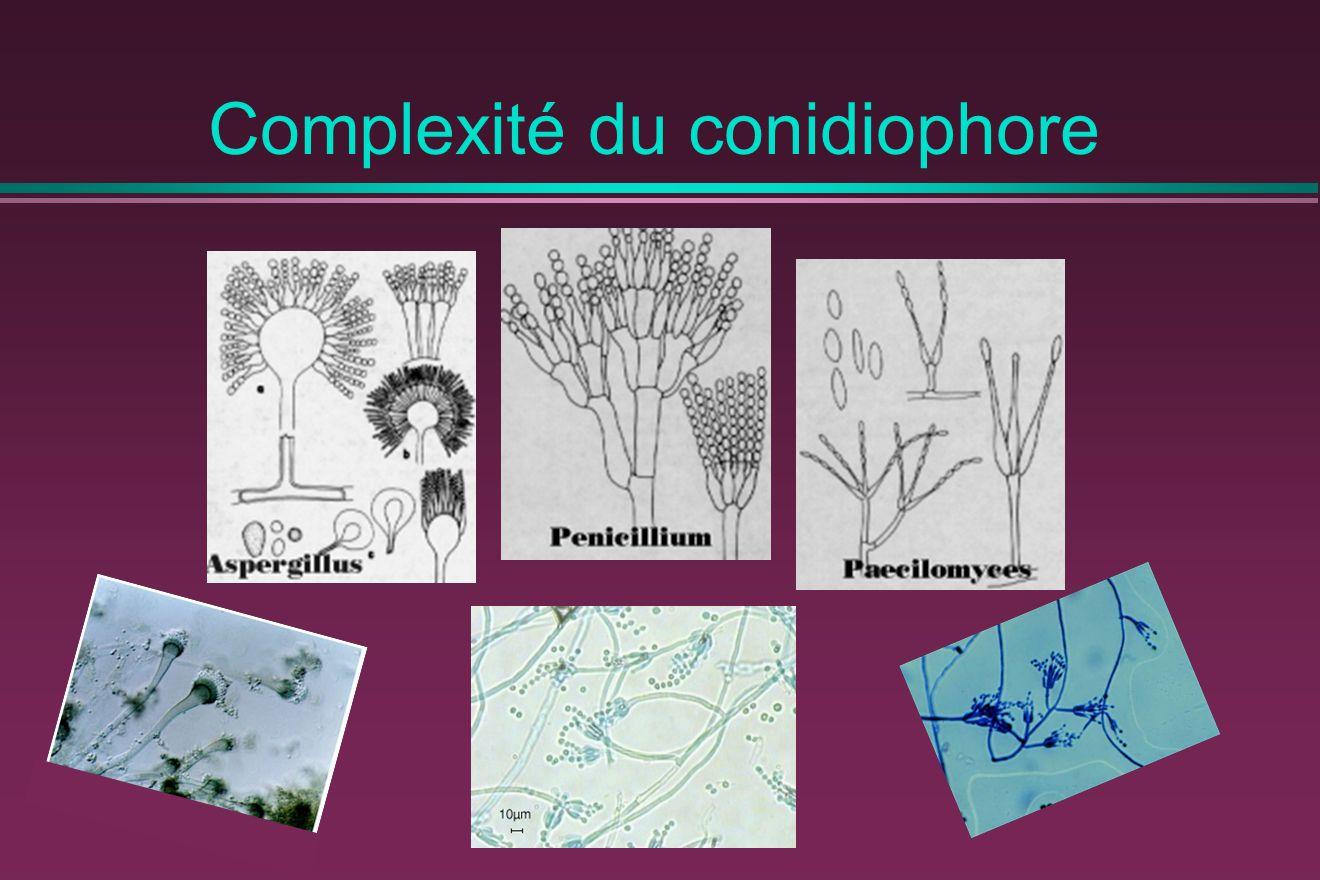 Complexité du conidiophore