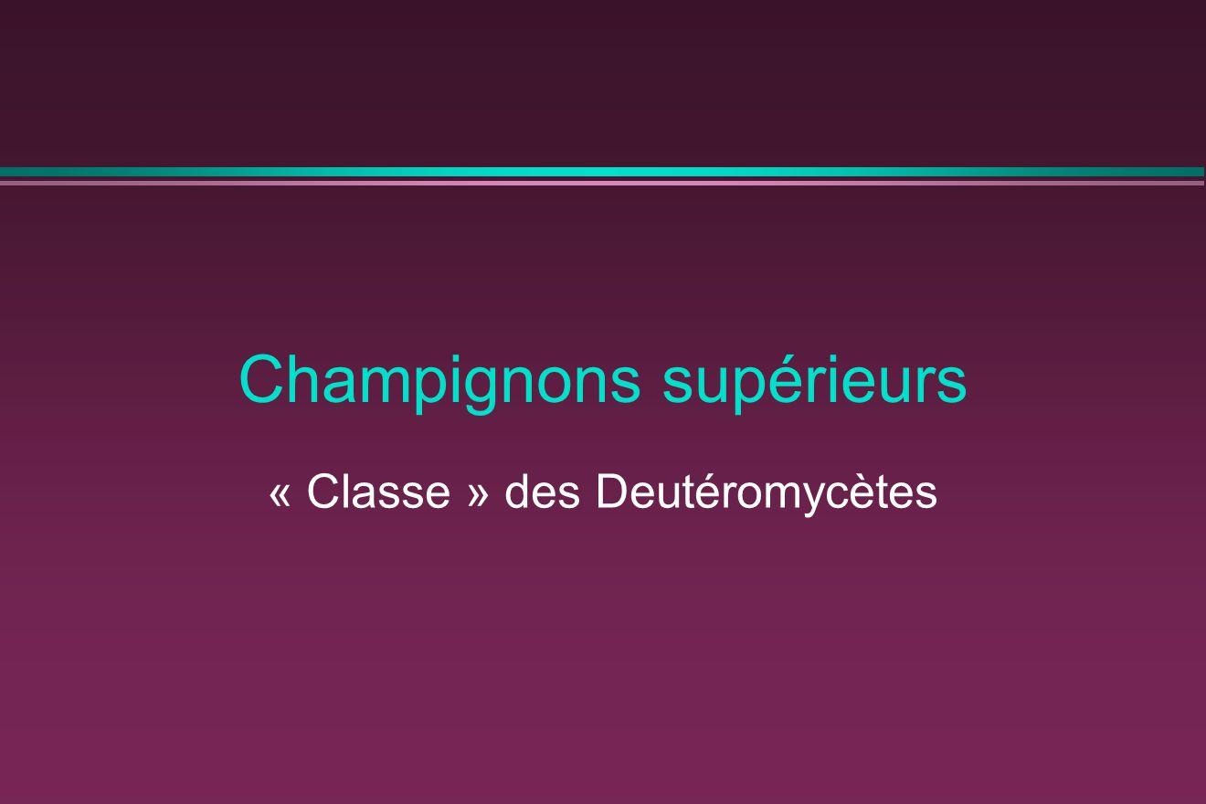 Champignons supérieurs « Classe » des Deutéromycètes