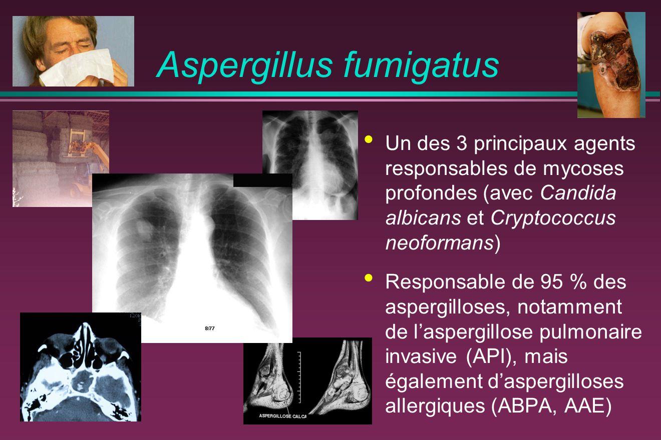 Aspergillus fumigatus Un des 3 principaux agents responsables de mycoses profondes (avec Candida albicans et Cryptococcus neoformans) Responsable de 9