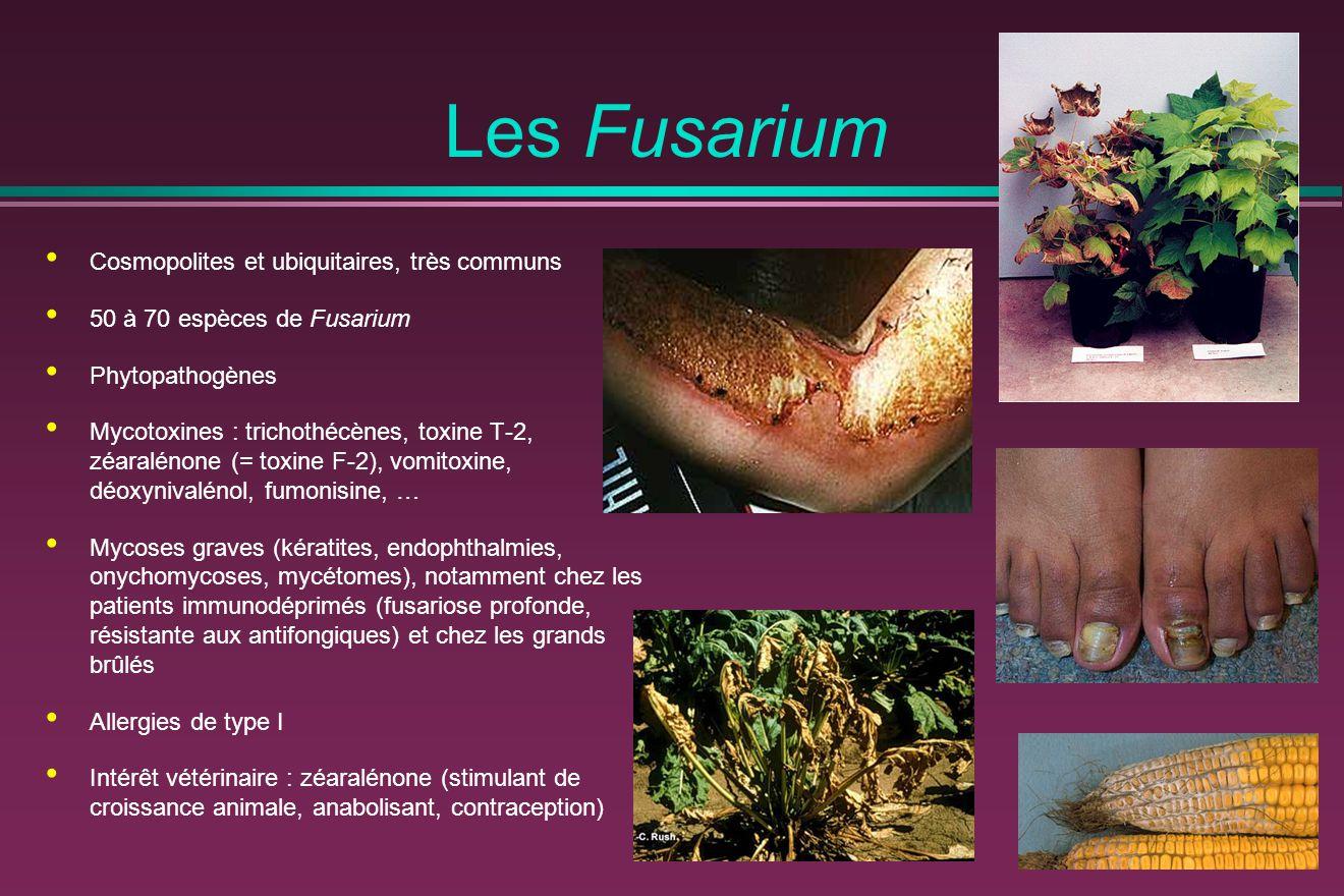 Les Fusarium Cosmopolites et ubiquitaires, très communs 50 à 70 espèces de Fusarium Phytopathogènes Mycotoxines : trichothécènes, toxine T-2, zéaralén