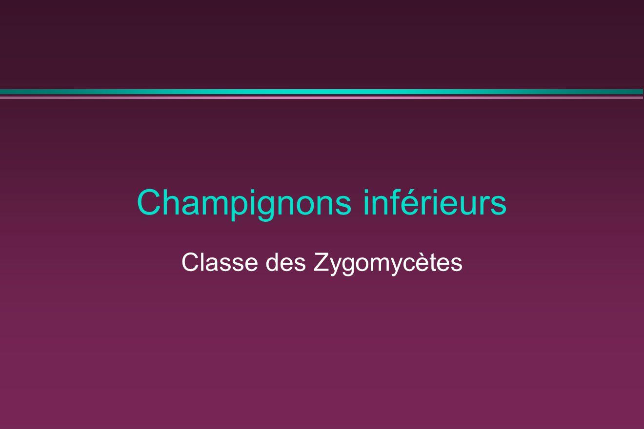 Champignons inférieurs Classe des Zygomycètes