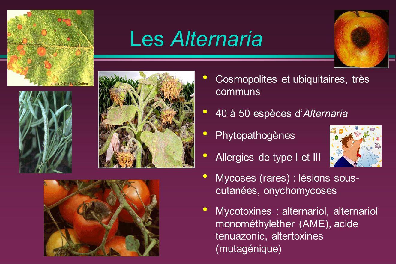 Les Alternaria Cosmopolites et ubiquitaires, très communs 40 à 50 espèces d'Alternaria Phytopathogènes Allergies de type I et III Mycoses (rares) : lé