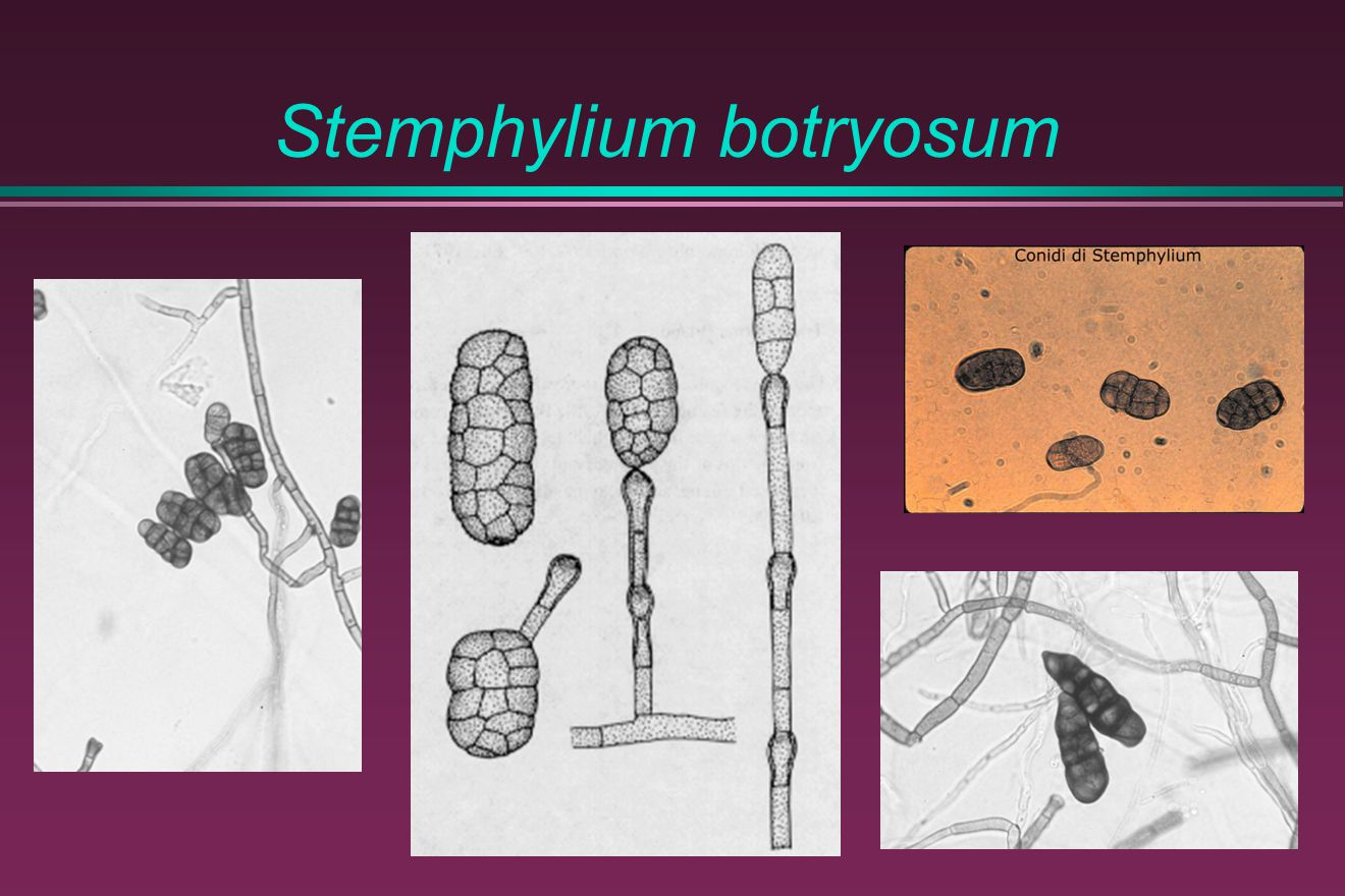 Stemphylium botryosum