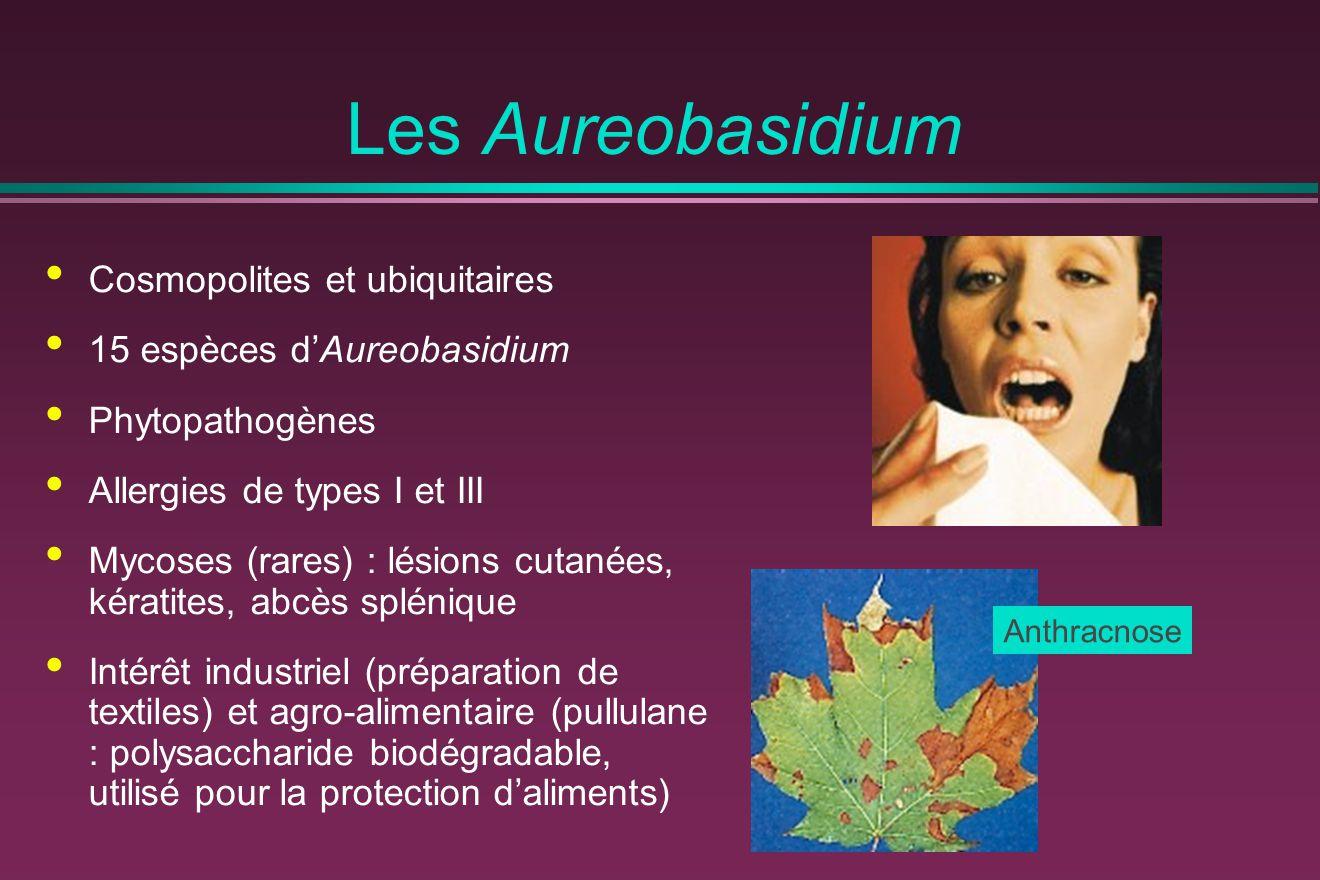 Les Aureobasidium Cosmopolites et ubiquitaires 15 espèces d'Aureobasidium Phytopathogènes Allergies de types I et III Mycoses (rares) : lésions cutané