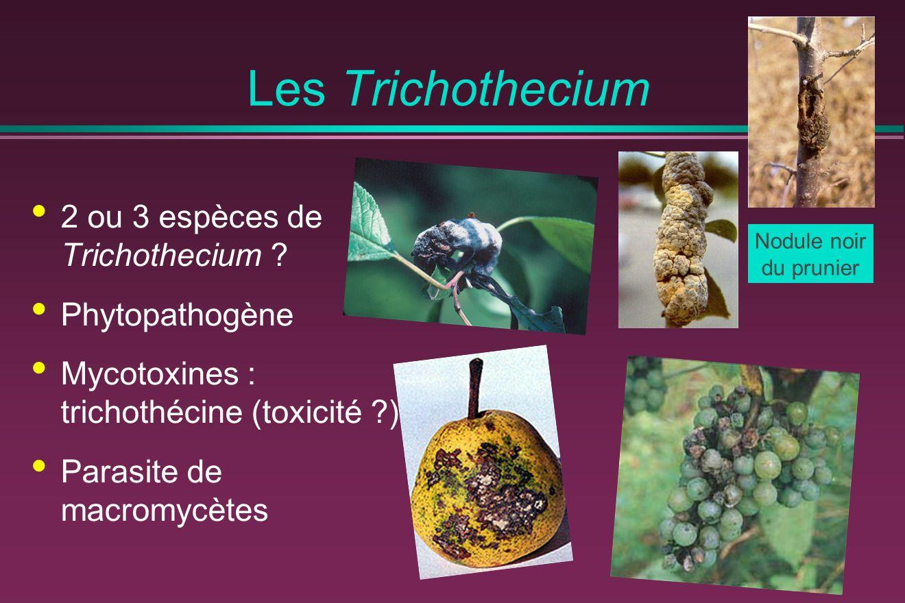 Les Trichothecium 2 ou 3 espèces de Trichothecium ? Phytopathogène Mycotoxines : trichothécine (toxicité ?) Parasite de macromycètes Nodule noir du pr