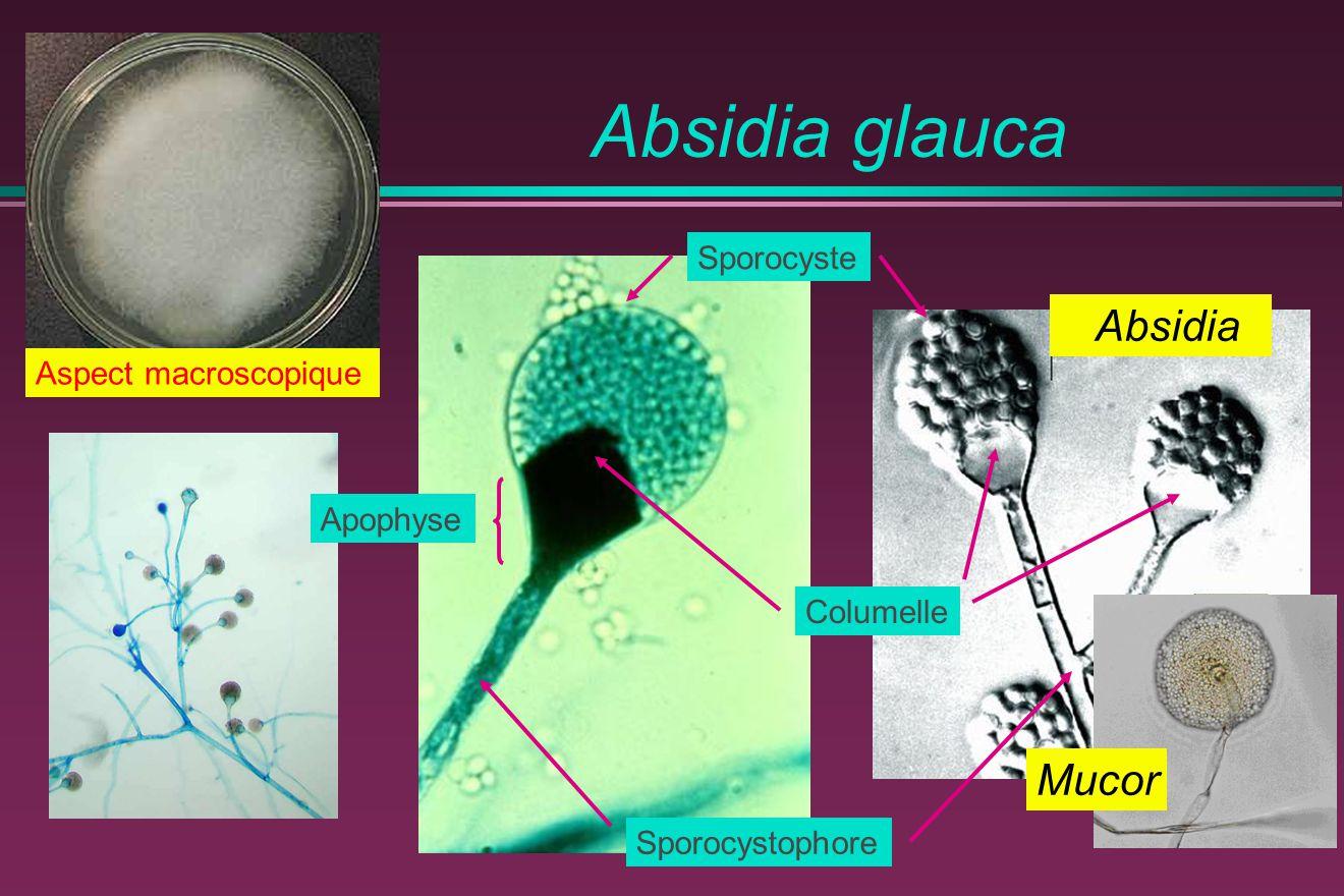 Absidia glauca Sporocystophore Sporocyste Columelle Apophyse Aspect macroscopique Mucor Absidia