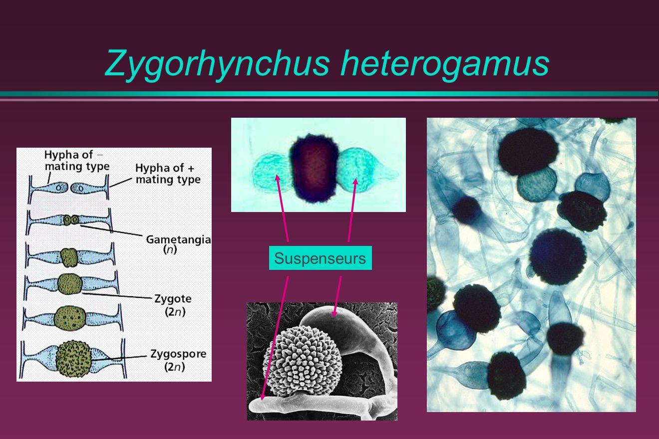 Zygorhynchus heterogamus Suspenseurs