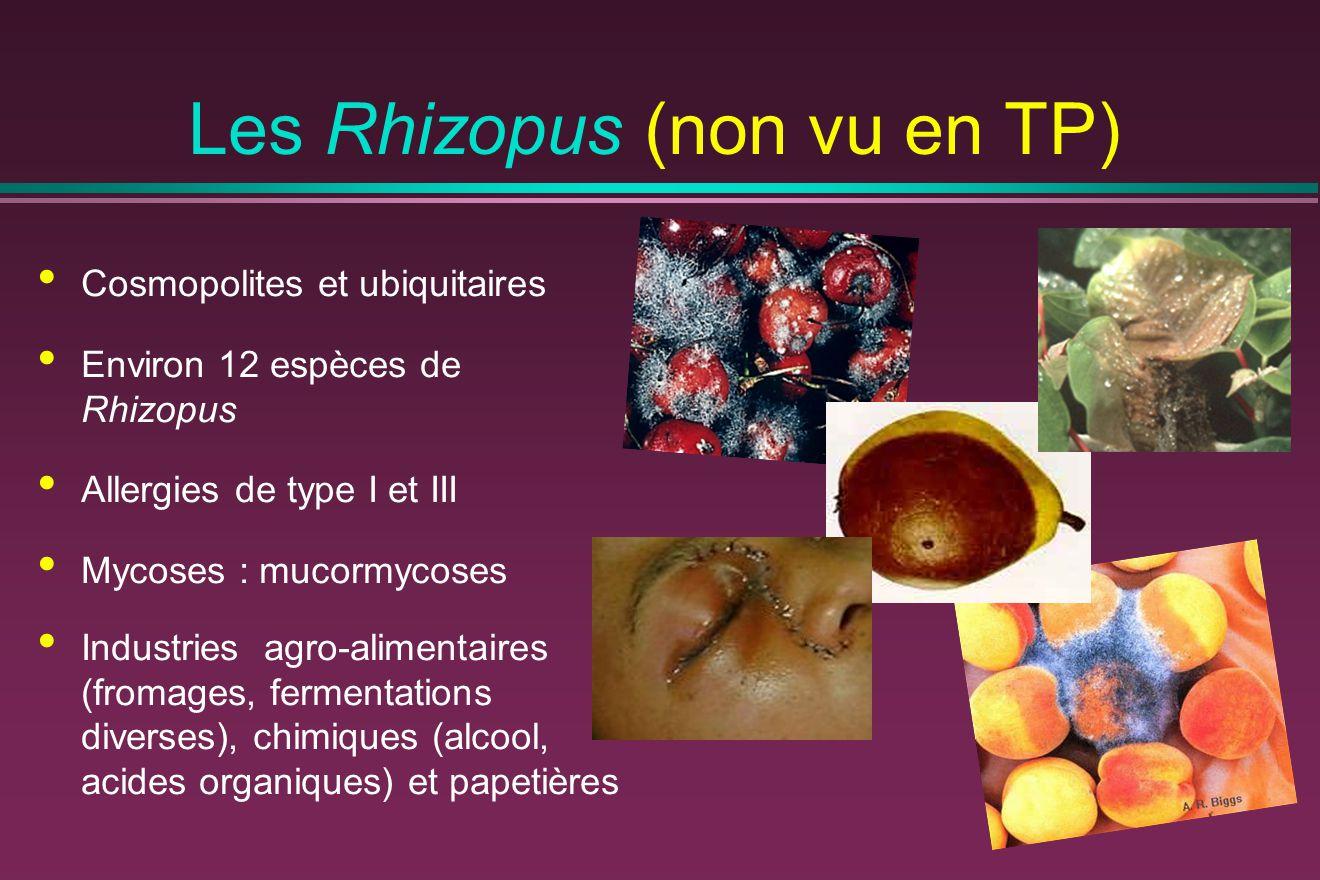Cosmopolites et ubiquitaires Environ 12 espèces de Rhizopus Allergies de type I et III Mycoses : mucormycoses Industries agro-alimentaires (fromages,