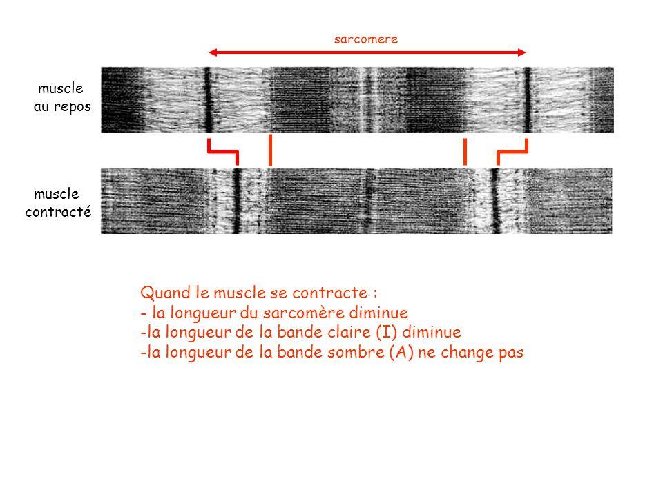 Quand le muscle se contracte : - la longueur du sarcomère diminue -la longueur de la bande claire (I) diminue -la longueur de la bande sombre (A) ne c