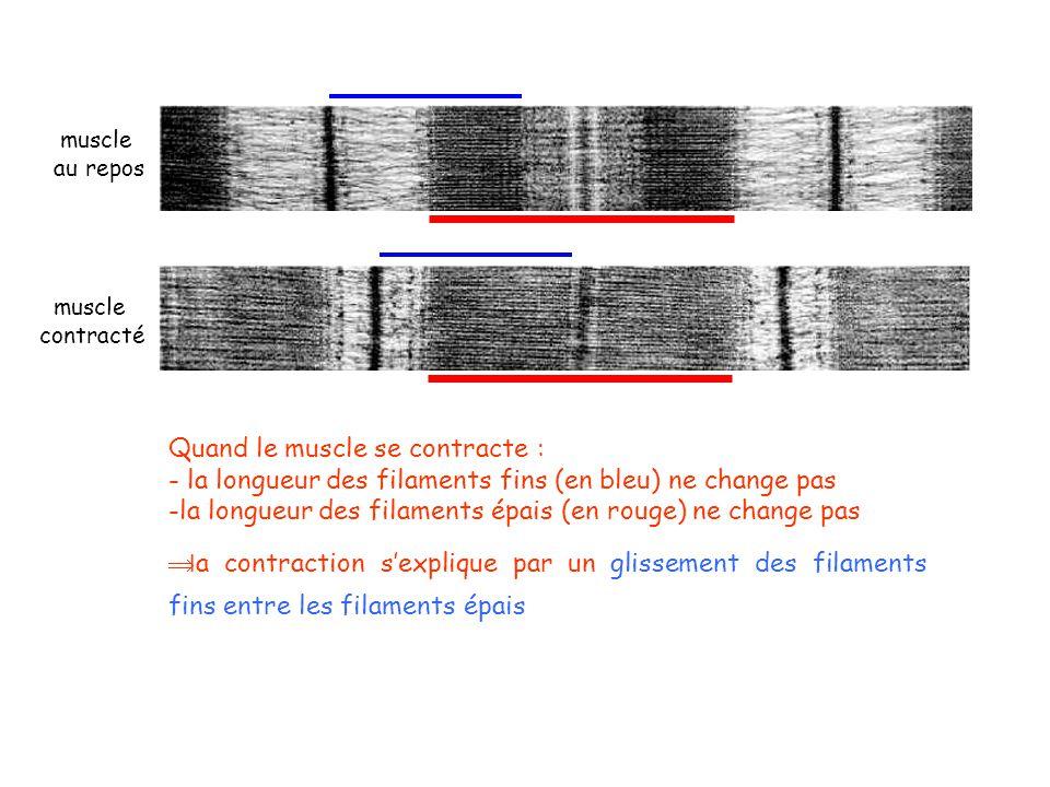muscle au repos muscle contracté Quand le muscle se contracte : - la longueur des filaments fins (en bleu) ne change pas -la longueur des filaments ép