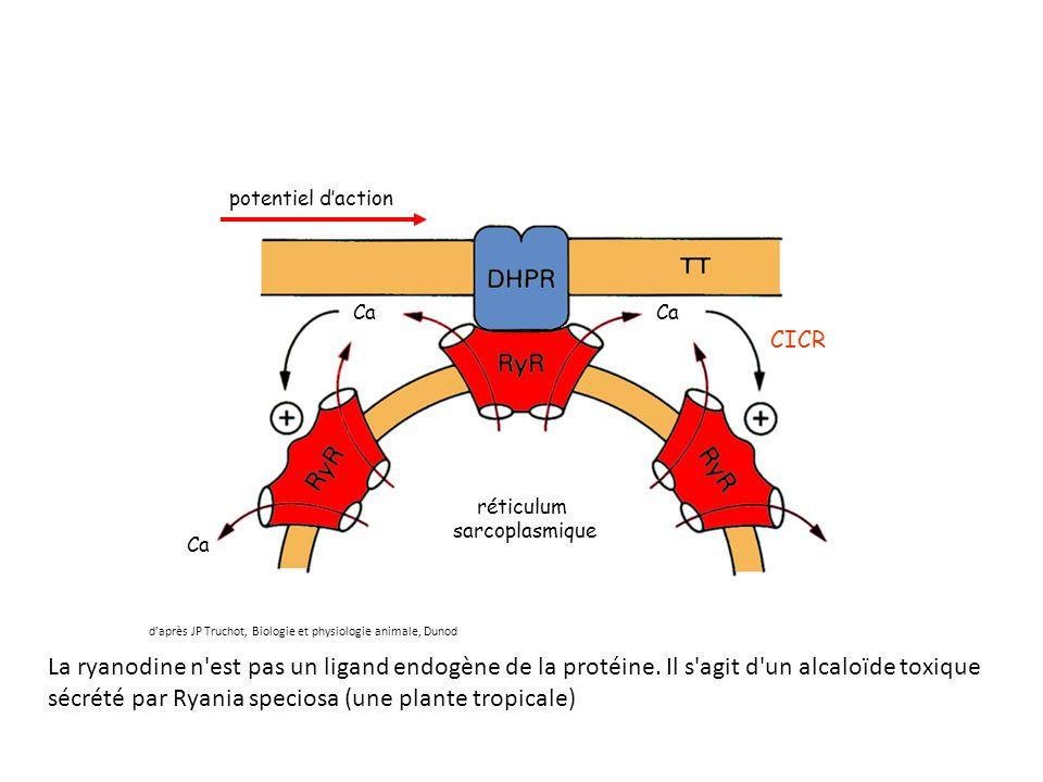 réticulum sarcoplasmique potentiel d'action Ca CICR d'après JP Truchot, Biologie et physiologie animale, Dunod La ryanodine n'est pas un ligand endogè