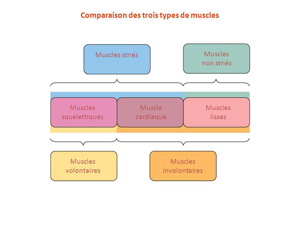 Comparaison des trois types de muscles Type de muscle SQUELETTIQUE LISSE multiunitaire LISSE unitaire CARDIAQUE Longueur, forme et noyaux très longues fibres striées et multinucléées fibres courtes en fuseau, lisses et mononucléées fibres courtes et bifurquées, striées et mononucléées Jonctions gapAbsentesPeu nombreusesNombreuses SarcomèresOuiNon Oui Structure interne tubules T réticulum bien développé pas de tubules T réticulum peu développé pas de tubules T réticulum peu développé tubules T réticulum assez développé