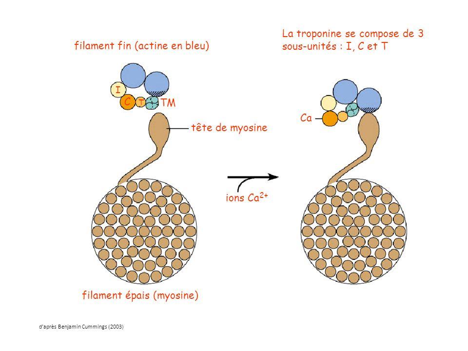 tête de myosine ions Ca 2+ filament épais (myosine) filament fin (actine en bleu) Ca TM C T I La troponine se compose de 3 sous-unités : I, C et T d'a