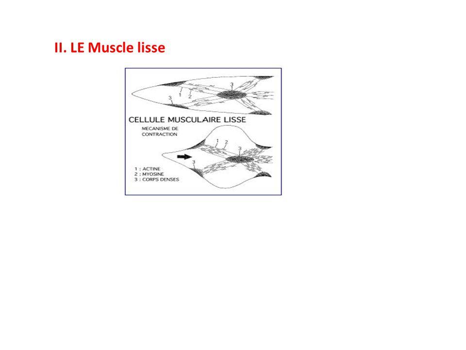 II. LE Muscle lisse