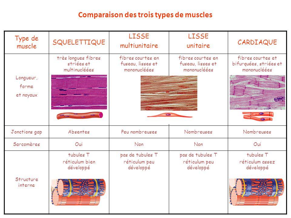 Comparaison des trois types de muscles Type de muscle SQUELETTIQUE LISSE multiunitaire LISSE unitaire CARDIAQUE Longueur, forme et noyaux très longues