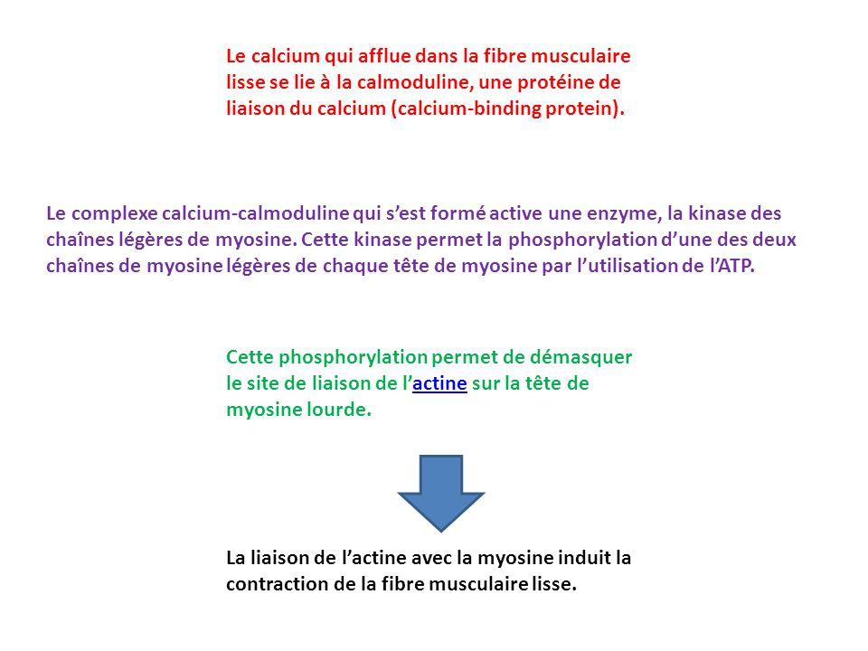 Le calcium qui afflue dans la fibre musculaire lisse se lie à la calmoduline, une protéine de liaison du calcium (calcium-binding protein). Le complex