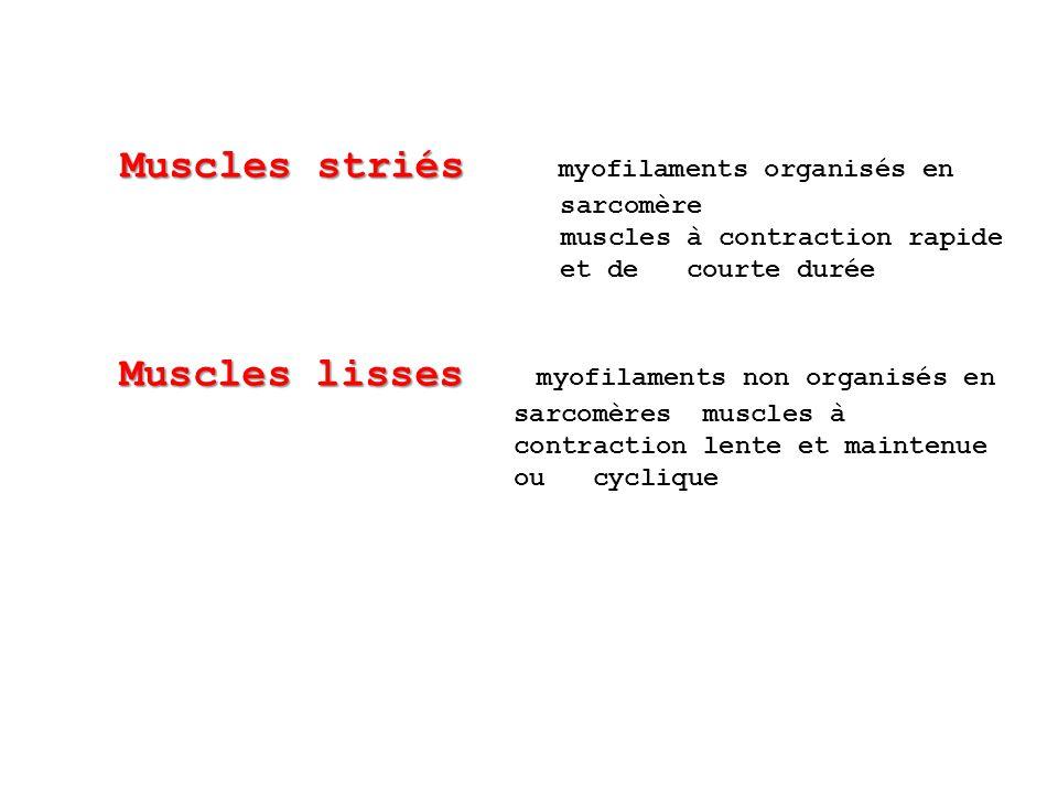 Muscles striés Muscles striés myofilaments organisés en sarcomère muscles à contraction rapide et de courte durée Muscles lisses Muscles lisses myofil