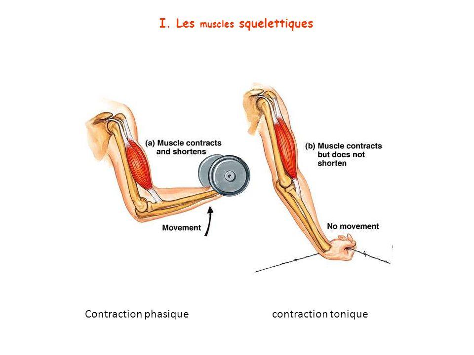 Contraction phasique contraction tonique I. Les muscles squelettiques