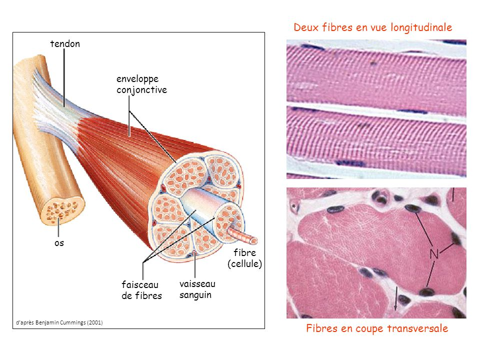 tendon os vaisseau sanguin faisceau de fibres enveloppe conjonctive fibre (cellule) Deux fibres en vue longitudinale Fibres en coupe transversale d'ap