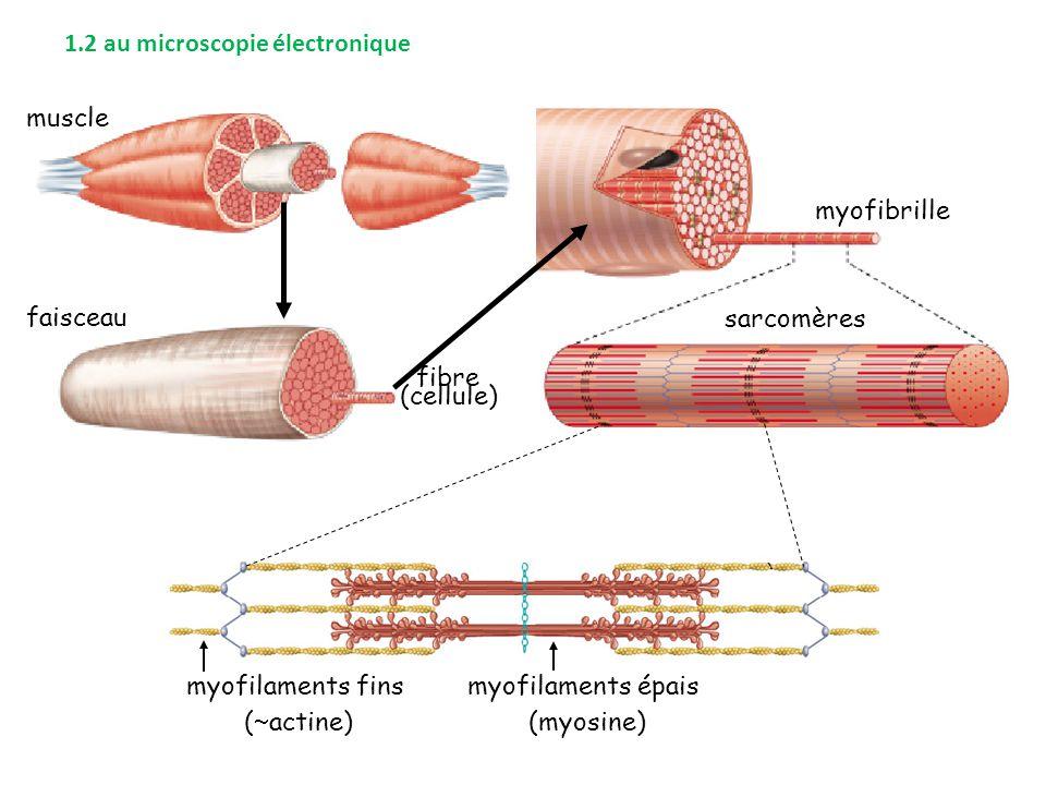 muscle faisceau fibre (cellule) myofibrille sarcomères myofilaments fins (  actine) myofilaments épais (myosine) 1.2 au microscopie électronique