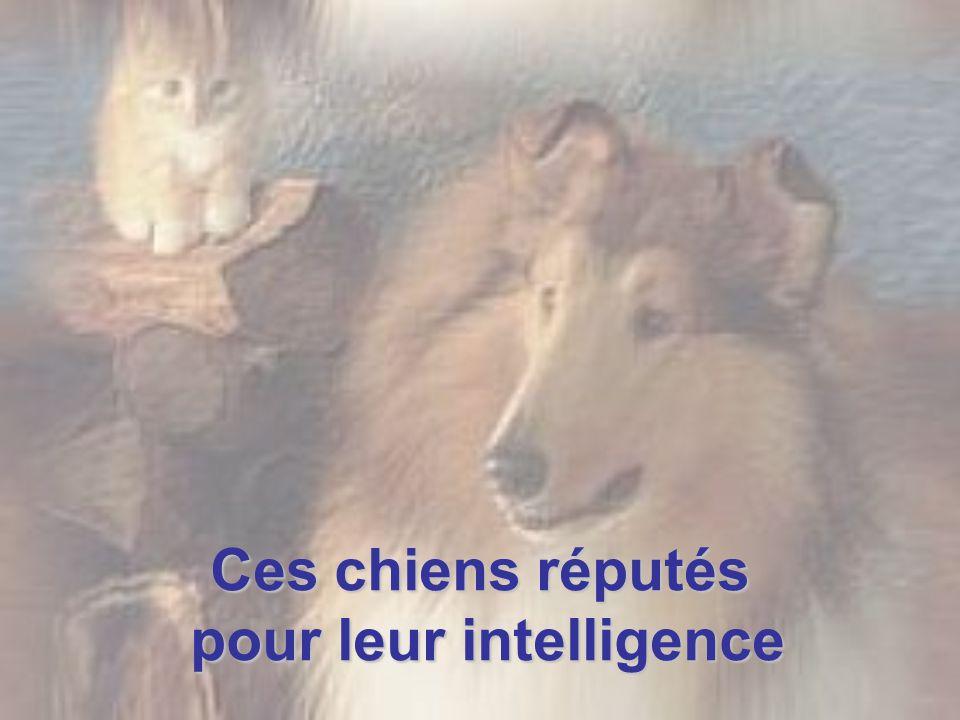 Les races de chien réputées pour leur intelligence Ce classement a été établi selon les aptitudes de ces races pour l obéissance et l intelligence au travail.