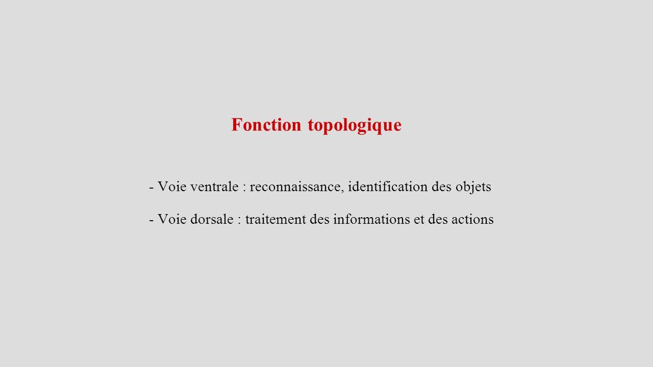Fonction topologique - Voie ventrale : reconnaissance, identification des objets - Voie dorsale : traitement des informations et des actions