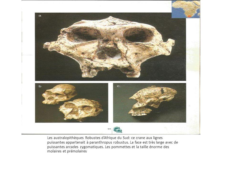 Les australopithèques Robustes d'Afrique du Sud: ce crane aux lignes puissantes appartenait à paranthropus robustus. La face est très large avec de pu