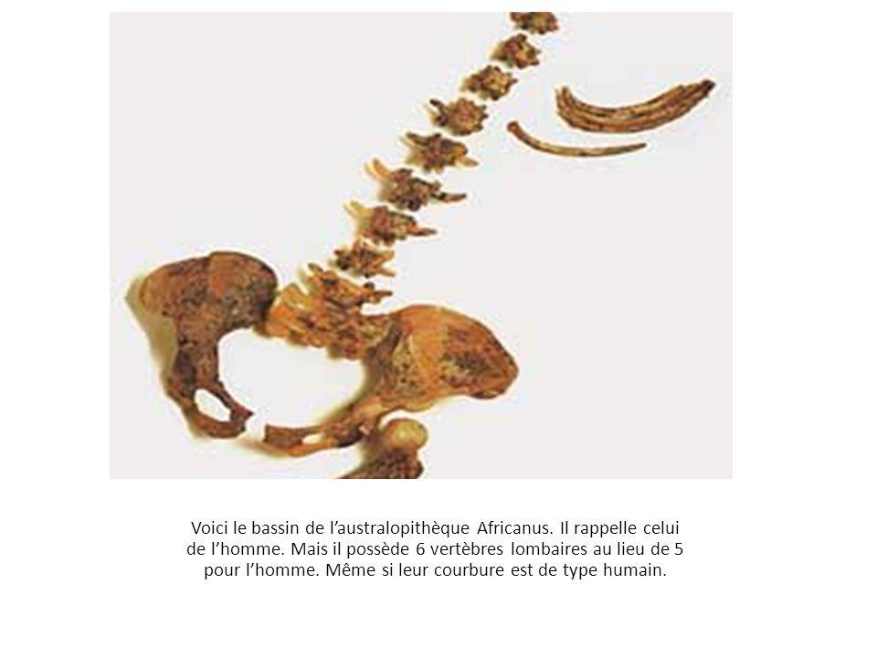 Voici le bassin de l'australopithèque Africanus. Il rappelle celui de l'homme. Mais il possède 6 vertèbres lombaires au lieu de 5 pour l'homme. Même s