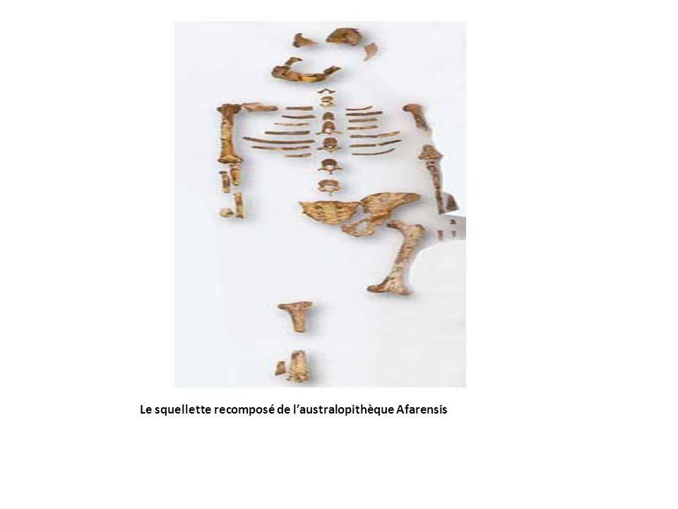 Le squellette recomposé de l'australopithèque Afarensis