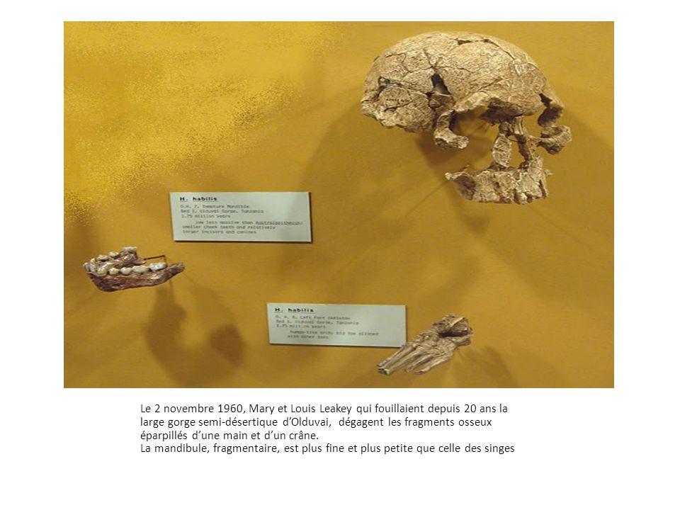 Le 2 novembre 1960, Mary et Louis Leakey qui fouillaient depuis 20 ans la large gorge semi-désertique d'Olduvai, dégagent les fragments osseux éparpil