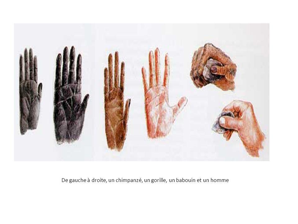 De gauche à droite, un chimpanzé, un gorille, un babouin et un homme
