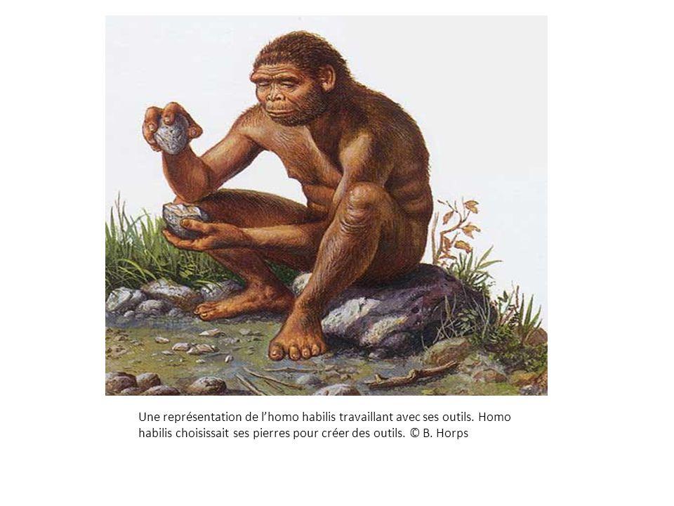 Une représentation de l'homo habilis travaillant avec ses outils. Homo habilis choisissait ses pierres pour créer des outils. © B. Horps