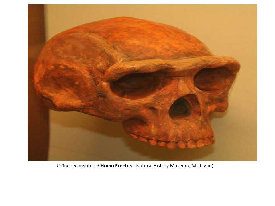 Crâne reconstitué d'Homo Erectus. (Natural History Museum, Michigan)