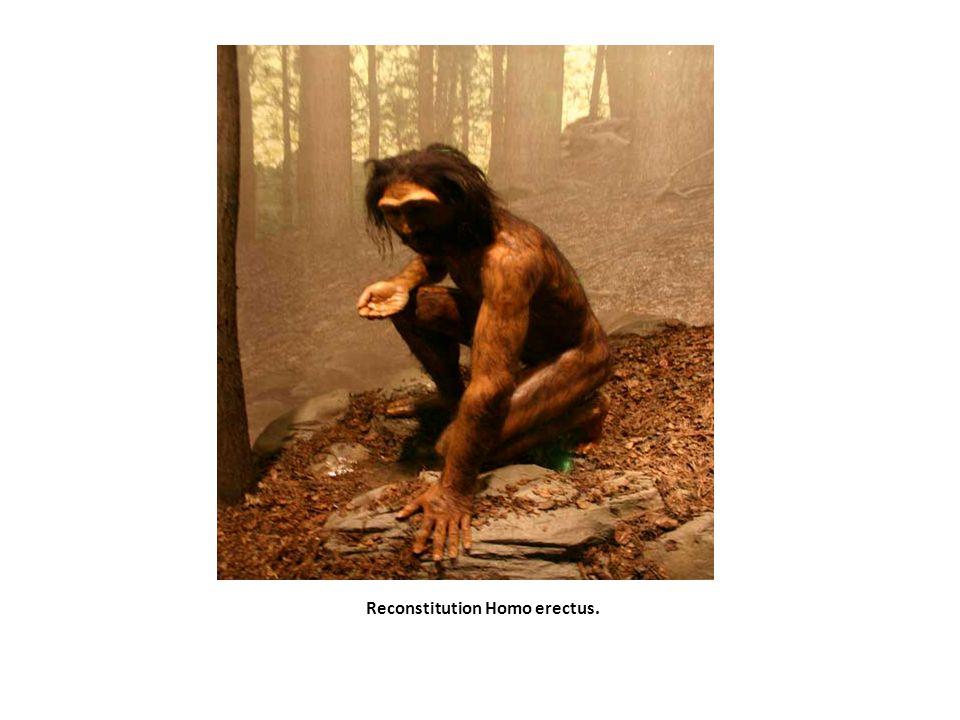 Reconstitution Homo erectus.