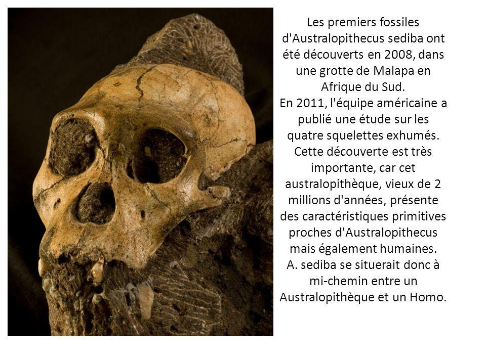 Les premiers fossiles d'Australopithecus sediba ont été découverts en 2008, dans une grotte de Malapa en Afrique du Sud. En 2011, l'équipe américaine