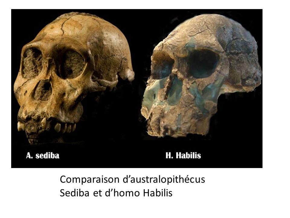 Comparaison d'australopithécus Sediba et d'homo Habilis
