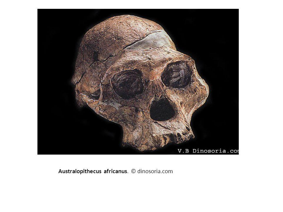 Australopithecus africanus. © dinosoria.com