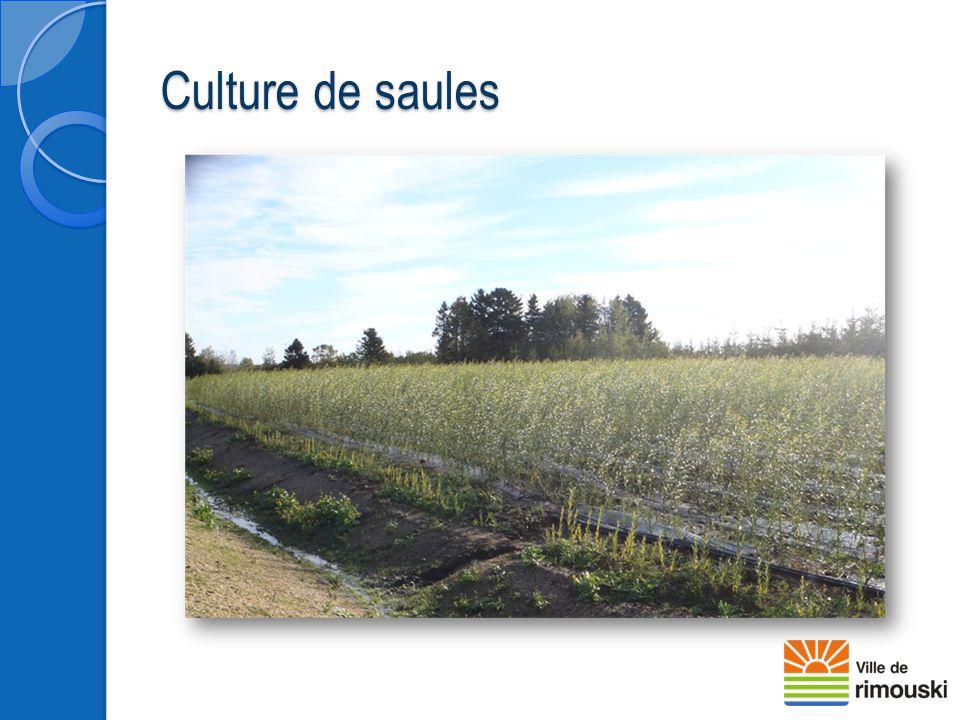 Culture de saules