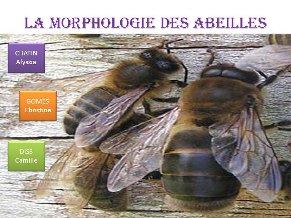 La morphologie des Abeilles CHATIN Alyssia GOMES Christine DISS Camille