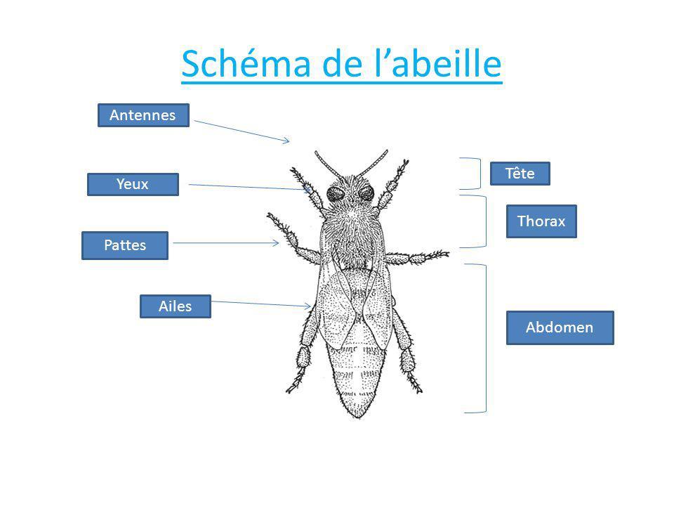 Schéma de l'abeille Antennes Yeux Pattes Ailes Tête Thorax Abdomen