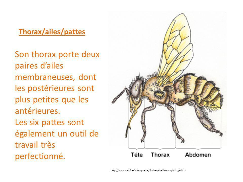 Thorax/ailes/pattes Son thorax porte deux paires d'ailes membraneuses, dont les postérieures sont plus petites que les antérieures. Les six pattes son