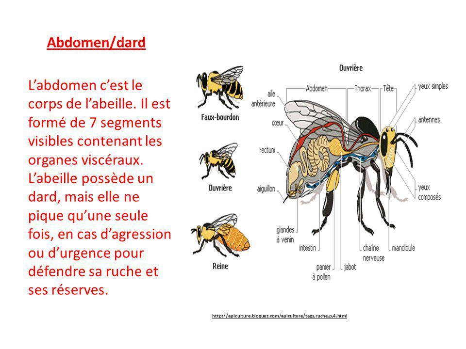 Abdomen/dard L'abdomen c'est le corps de l'abeille. Il est formé de 7 segments visibles contenant les organes viscéraux. L'abeille possède un dard, ma
