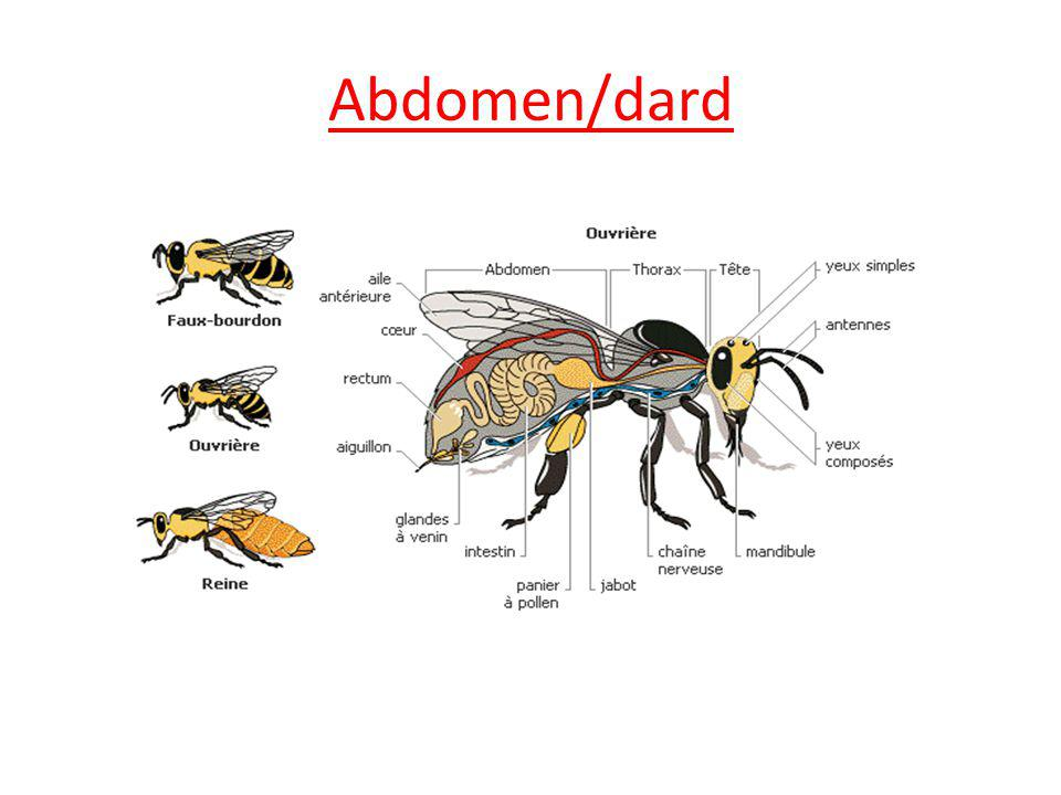 Abdomen/dard