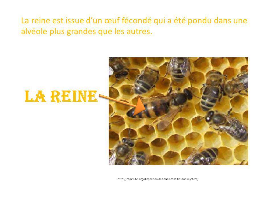 LA REINE La reine est issue d'un œuf fécondé qui a été pondu dans une alvéole plus grandes que les autres. http://cap21-64.org/disparition-des-abeille