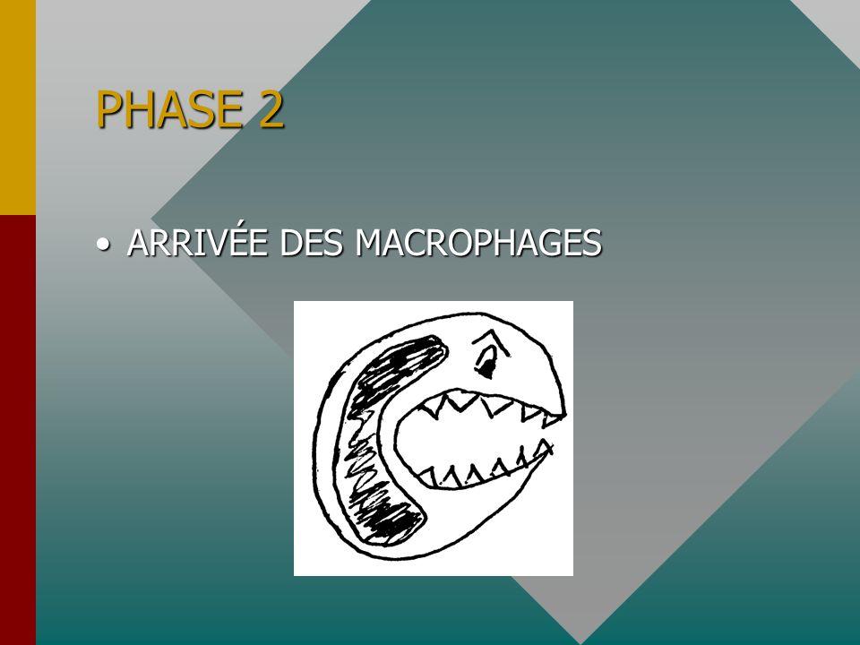 PHASE 2 ARRIVÉE DES MACROPHAGESARRIVÉE DES MACROPHAGES