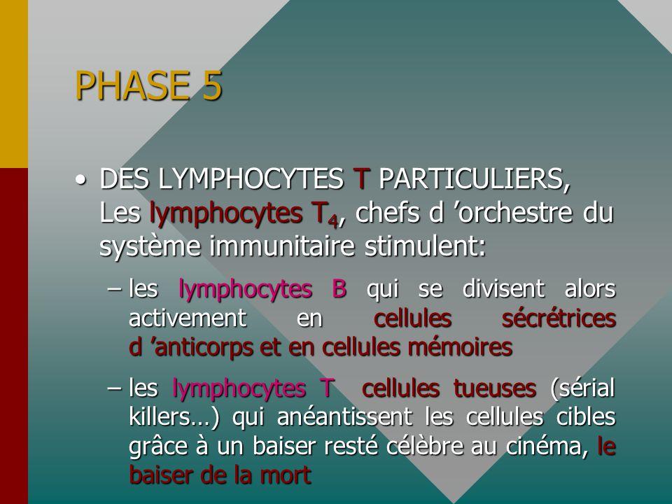 PHASE 5 DES LYMPHOCYTES T PARTICULIERS, Les lymphocytes T 4, chefs d 'orchestre du système immunitaire stimulent:DES LYMPHOCYTES T PARTICULIERS, Les lymphocytes T 4, chefs d 'orchestre du système immunitaire stimulent: –les lymphocytes B qui se divisent alors activement en cellules sécrétrices d 'anticorps et en cellules mémoires –les lymphocytes T cellules tueuses (sérial killers…) qui anéantissent les cellules cibles grâce à un baiser resté célèbre au cinéma, le baiser de la mort