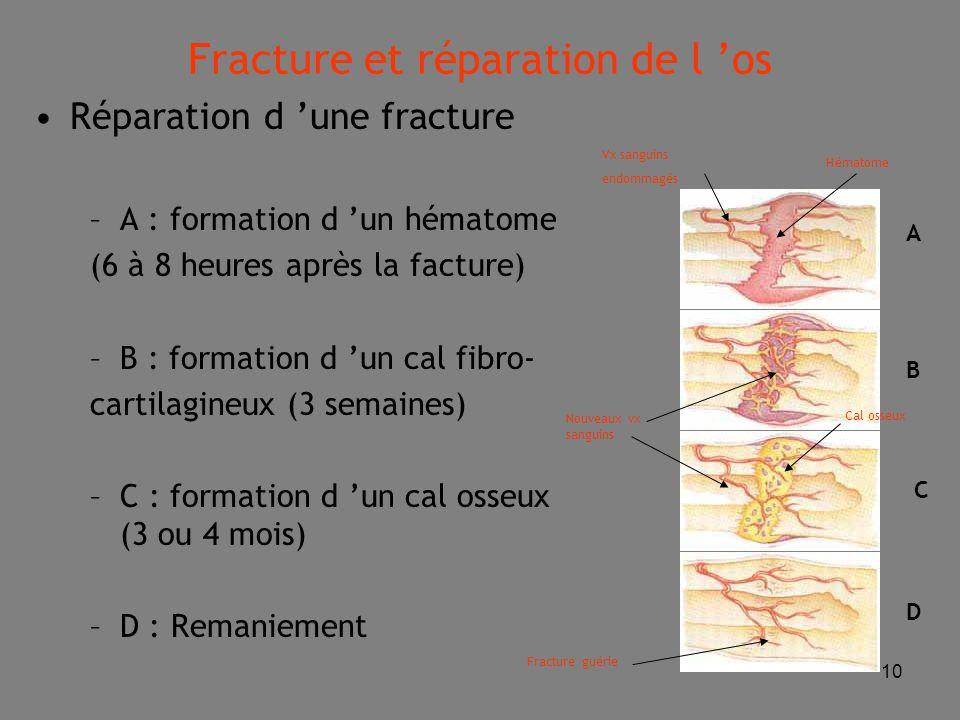 10 Réparation d 'une fracture –A : formation d 'un hématome (6 à 8 heures après la facture) –B : formation d 'un cal fibro- cartilagineux (3 semaines) –C : formation d 'un cal osseux (3 ou 4 mois) –D : Remaniement A B C D Vx sanguins endommagés Hématome Nouveaux vx sanguins Cal osseux Fracture guérie Fracture et réparation de l 'os