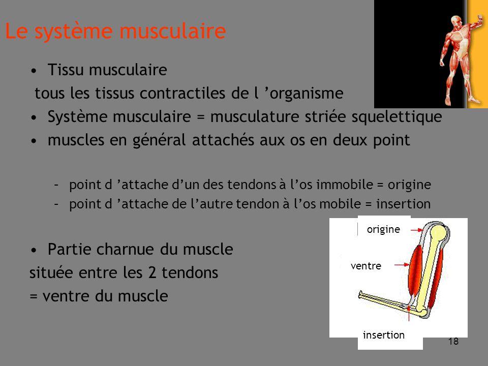 18 Tissu musculaire tous les tissus contractiles de l 'organisme Système musculaire = musculature striée squelettique muscles en général attachés aux os en deux point –point d 'attache d'un des tendons à l'os immobile = origine –point d 'attache de l'autre tendon à l'os mobile = insertion Partie charnue du muscle située entre les 2 tendons = ventre du muscle Le système musculaire ventre origine insertion