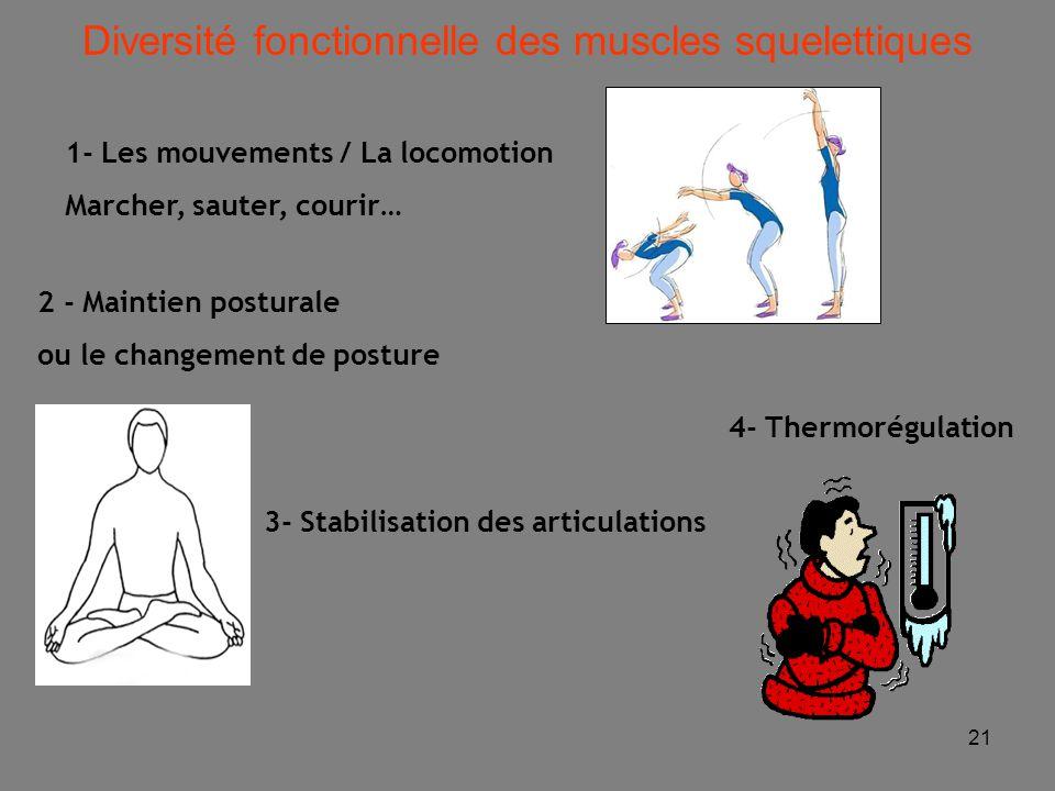 21 Diversité fonctionnelle des muscles squelettiques 4- Thermorégulation 2 - Maintien posturale ou le changement de posture 1- Les mouvements / La locomotion Marcher, sauter, courir… 3- Stabilisation des articulations