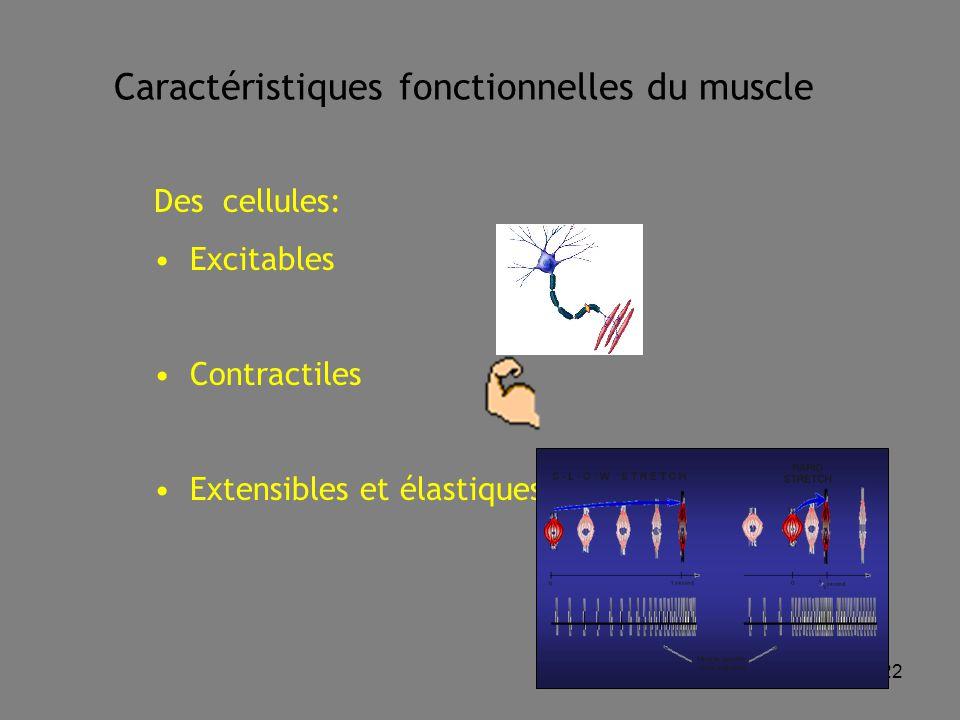 22 Caractéristiques fonctionnelles du muscle Des cellules: Excitables Contractiles Extensibles et élastiques